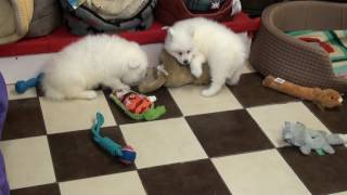 Little Rascals Uk Breeders New Litter Of Samoyeds