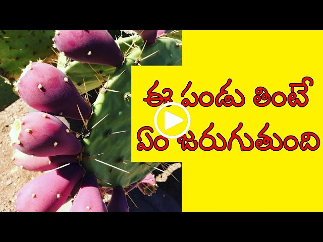 How to eat nagajemudu fruit    health benefits    how to eat prickly pear   