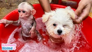 Little Monkey And Poodle Loves Bathing With Warm Water