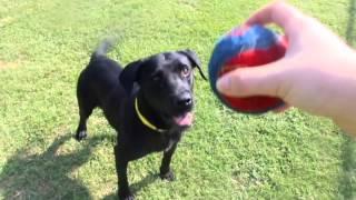 Adopt Me! Labrador Retriever (28520042)