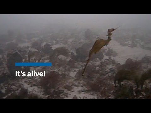 Meet the ruby seadragon, one of the planet