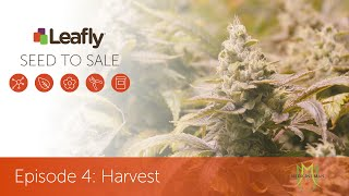 Seed To Sale: How Legal Cannabis Is Grown - Episode 4 - Harvest