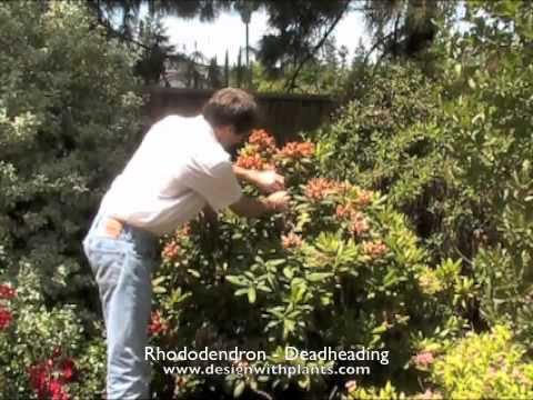 Rhododendron - Deadheading