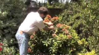 Rhododendron - Deadheading