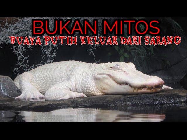3 PENAMPAKAN BUAYA PUTIH DI INDONESIA/ASLI BUKAN MITOS ! - YouTube