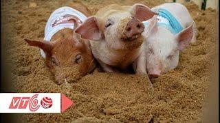 Lợn được nuôi như trong khách sạn 5 sao | VTC