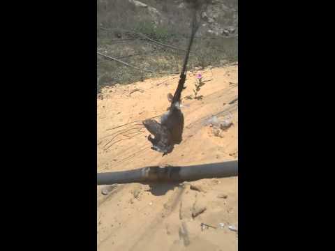cách bẫy chim cu gáy bằng lưới. 0972418089