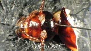 【閲覧注意】ゴキブリの脳を取り出す