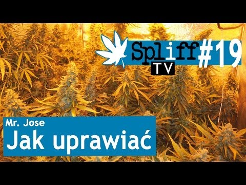 Gazeta Konopna Spliff Marihuana Cannabis Konopie Jak