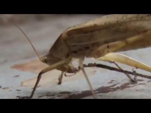 Кузнечики.Съедобные насекомые.grasshopper