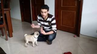 Como enseñar a tu perro pug a sentarse