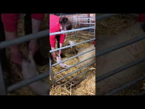 Lambing Live at Rand Farm Park