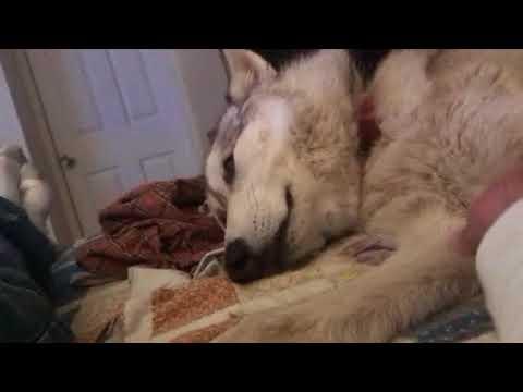 Waylon The Wolf Dog Watches Wolf Documentary on Natgeo