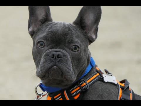 Kenny the French Bulldog Puppy - 2 Weeks Residential Dog Training