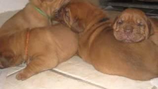 Chiots Dogues De Bordeaux