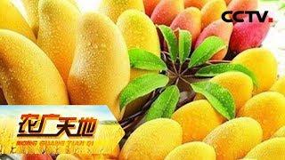 《农广天地》 20190624 两招消除芒果异常落果| CCTV农业