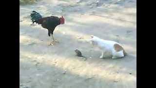 Kucing Dan Ayam Lucu Sedang Makan Tikus