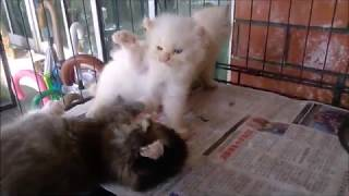 TOPs CLG American Curl kitten : 1 month . CAT FIGHTING