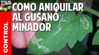 Cómo Aniquilar al Maldito Gusano Minador de las hojas del tomate - Plagas del Tomate @cosasdeljardin
