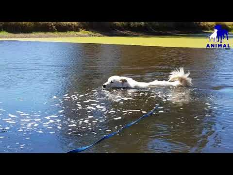 Loki the Maremma goes for a morning dip!