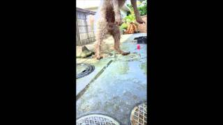 Jumping Dog (toy Poodle)