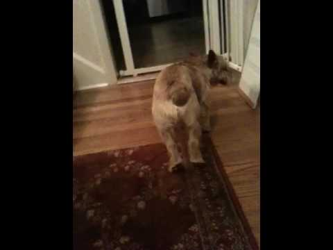 Norwich Terrier Atypical Seizure Disorder aka Paroxysmal Dyskinesia