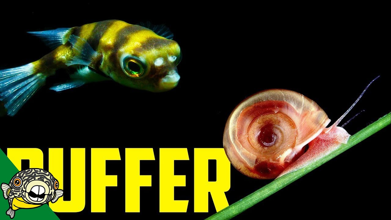 Amazon puffer fish freshwater care colomesus asellus for Amazon puffer fish