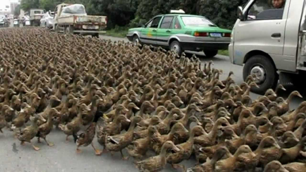 herd of 5 000 ducks disrupt morning commute in china youtube