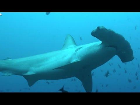 Акулы Под Угрозой Исчезновения!