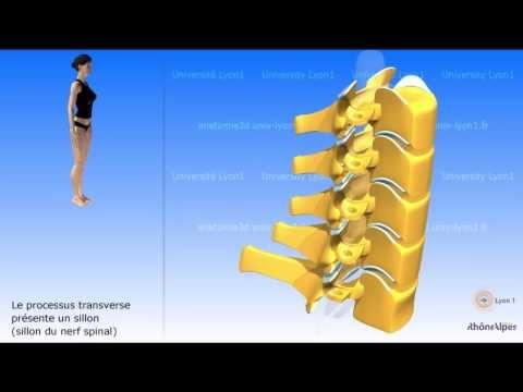 La vertèbre cervicale la colonne cervicale vidéo sonorisée