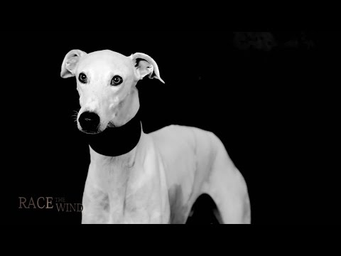 RACE THE WIND 17 # Greyhound Commercials 2 - Galgo Español & Piccolo Levriero Italiano