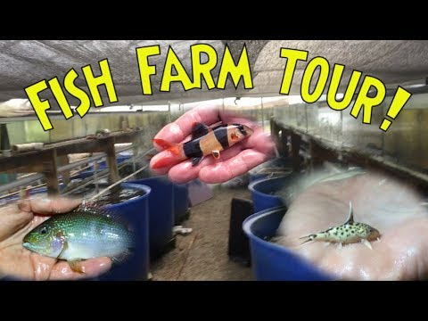 *PRIVATE* FISH FARM TOUR: Breeding Clown Loaches, Rare Cichlids, Synodontis Catfish, And More!