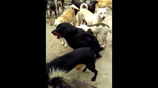 Vid 20150806 Rottweiler Male For Adoption (spca Seberang Perai Penang, Malaysia)
