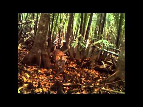 Tiger Cubs Prove Breeding In Sumatran Forest | Video