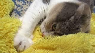 Cute scottish fold Knead