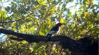Red-headed Woodpecker @ Matheson Hammock Dog Park 10/21/12