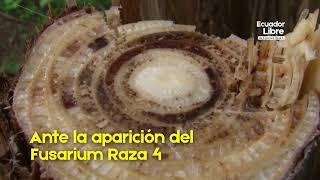 RECOMENDACIONES FUSARIUM RAZA 4 TROPICAL