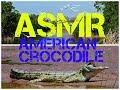 ASMR American Crocodile
