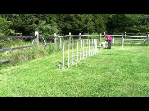 English Pointer Weave Pole Training for Agility