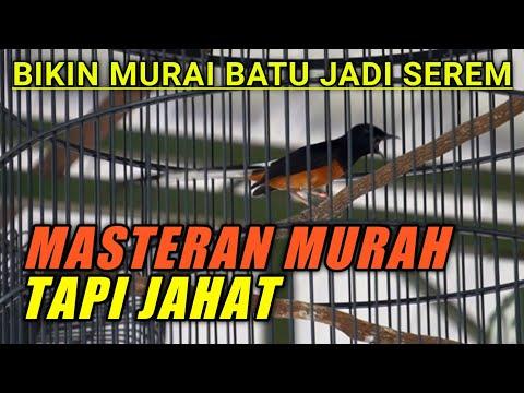 Download Masteran Murah Tapi Jahat Untuk Murai Batu Mp3 3 7 Mb Kicau Siburung Com