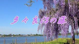 多々良沼の藤 Wisteria flowers / 群馬県館林市日向町