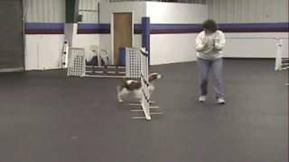 Ripley Welsh Springer Spaniel Novice Jumpers Agility