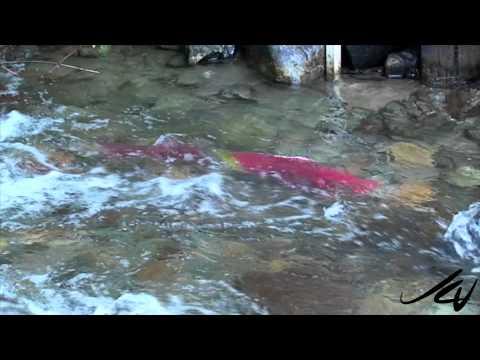 Adams River by Roderick Haig-Brown Provincial Park 2014 Sockeye Salmon Run -  Sept  4 2014