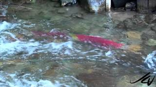 Adams River by Roderick Haig-Brown Provincial Park 2014 Sockeye Salmon Run -  Sept  4 2014