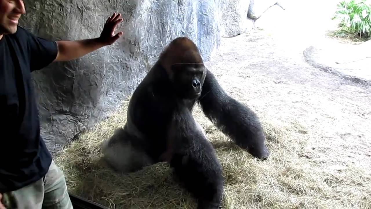 Gorilla mad - photo#25