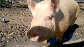 Happy Hungry Hog