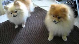 Selphie And Kairi- Pomeranians