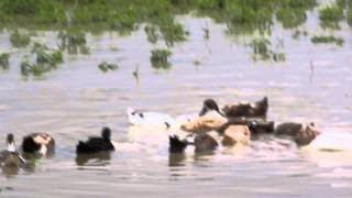 Ducks feeding in water