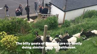 The much loved Bagot goats have returned to Cromer