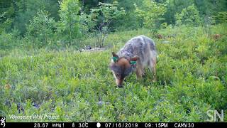 Watch a wolf eat blueberries in the wild | Science News